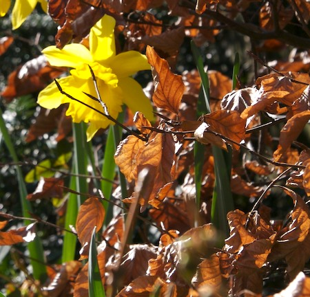 Leaves and daffodils
