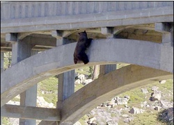 Bear on bridge