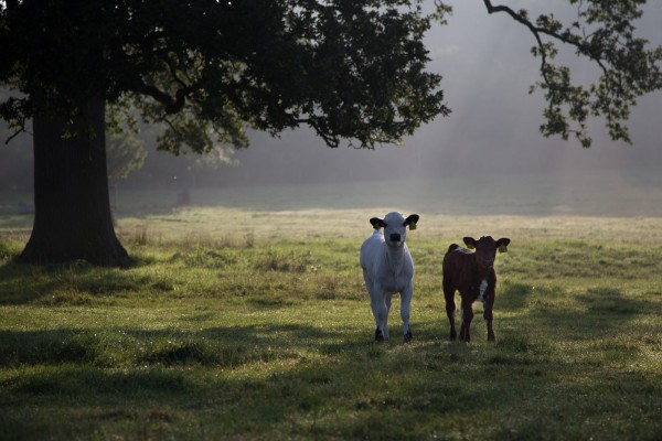 Calves at WImpole Hall